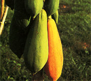 Papaya - Carica papaya